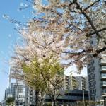 今年も桜めぐり!